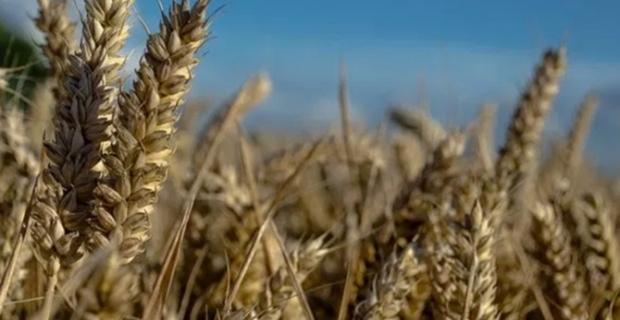 TMO, buğdayda küresel stok krizine karşı önlem aldı