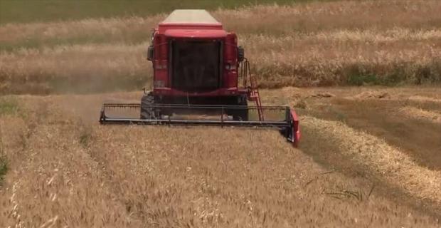 Buğday hasadında verimli yıl