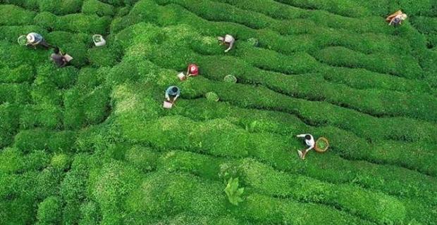 Yaş çay alımı üçüncü sürgünde 179 bin ton oldu