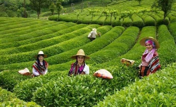 Çay hasadında sona doğru