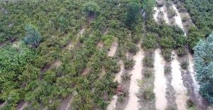 Ordu'daki selde bin 100 ton fındık zarar gördü