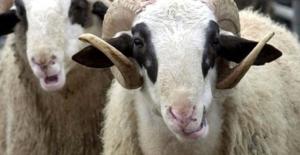 Türkiye'nin kurbanlık hayvan varlığı açıklandı