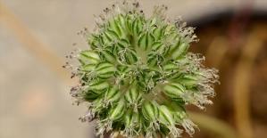 Bitki literatürüne 44. türünü kazandırdı
