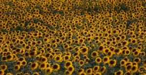 Çukurova'da ayçiçeği bereketi