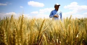 Buğday üretiminde artış bekleniyor