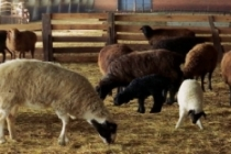 Hayvancılık yatırımlarına yüzde 50 hibe desteği