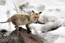 Eriyen karlar yaban hayvanlarını zorluyor