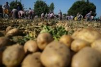 Tarım ve Orman Bakanı Pakdemirli: Türkiye patates üretiminde dünyada ilk 10'da